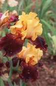Bearded Iris, from the Photographer's Gardens