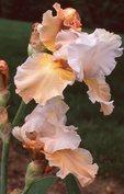 Bearded Iris, from the Photographer's Gardens