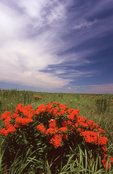 Butterfly Milkweed in a Virgin Tallgrass Prairie