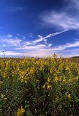 Tall Goldenrod on an Illinois Prairie