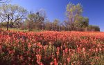 Indian Paintbrush in the Texas Hill Country