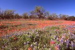 Bluebonnets and Indian Paintbrush in the Texas Hill Country