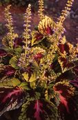 Coleus, from the Photographer's Gardens