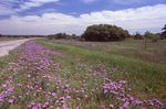 Verbena Lines a Lonely Road in the Texas Hill Country