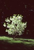 A Fringe Tree in the Photographer's Gardens