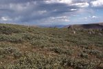 Dwarf Willows on the Flat Tops, with the Distant Sawatch and Gore Ranges
