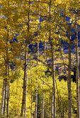 An Aspen Grove