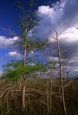 A Dwarf Cypress Forest in the Everglades