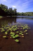 Spatterdock in Crescent Lake