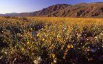Desert Marigold and Primrose near the Santa Rosa Mountains