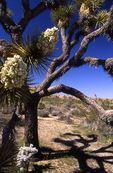 A Joshua Tree in the Mojave Desert