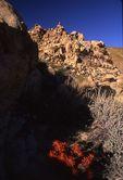 Mojave Indian Paintbrush in Short Canyon