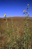 Rosinweed in a Virgin Tallgrass Prairie
