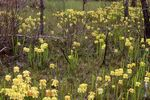 Pitcher Plants (Yellow Trumpets) in East Texas