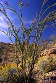 An Ocotillo in Southern California