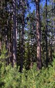 Yellowstone Lodgepole Pine Regeneration, 14 Years after the 1988 Fires