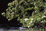 Pacific Dogwood at the Merced River