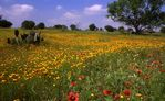 Spring Wildflowers in the Texas Hill Country
