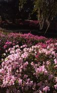 A Bed of Azaleas at Middleton Place