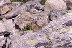 An American Pika on a Talus Slope