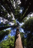 Redwoods in Bolling Grove