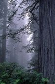 Redwoods in the Fog