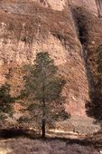 A Pine Tree at the Balconies Cliffs