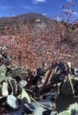 Prickly Pear Cactus and Persimmons