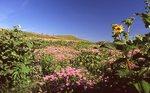 Wild Bergamot and Cup Plant at Spirit Mound