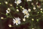 White Aster, from the Photographer's Gardens