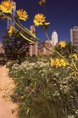 Compass Plant and Flowering Spurge in the Lurie Garden