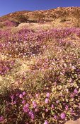 Sand Verbena and Desert Primrose in the Sonoran Desert