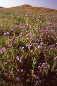 Wildflowers near the Temblor Range