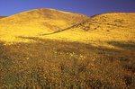 Goldfields in the Temblor Range
