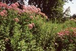 Joe-Pye Weed and Purple Coneflowers, from the Photographer's Gardens