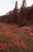Indian Paintbrush along the Icefields Parkway