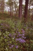 A Springtime Woodland in Northern Illinois with Woodland Phlox and False Rue Anemone