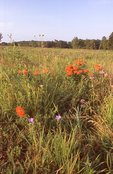 A Native Prairie Restoration in Northern Illinois