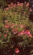 Purple Coneflowers and Sweet Joe-Pye Weed, from the Photographer's Gardens