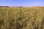 In a Virgin Tallgrass Prairie