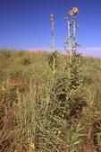 Compass Plant in a Virgin Tallgrass Prairie