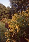 Elm-leaved Goldenrod, from the Photographer's Gardens