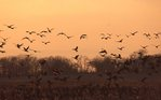 Canada Geese Feeding in an Illinois Cornfield at Sunset