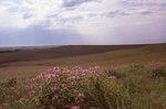 Bee Balm in a Virgin Tallgrass Prairie