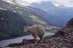 A Mountain Goat above Gunsight Lake