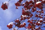 English Hawthorn Berries