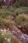 Wildflowers near Sylvan Pass