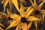 Black-eyed Susans, from the Photographer's Gardens