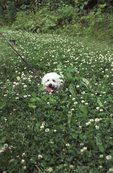 Jascha in a Field of Clover
