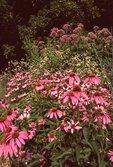 Purple Coneflower, Flowering Spurge and Sweet Joe-Pye Weed, from the Photographer's Gardens